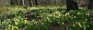 Kempley Wild Daffodils